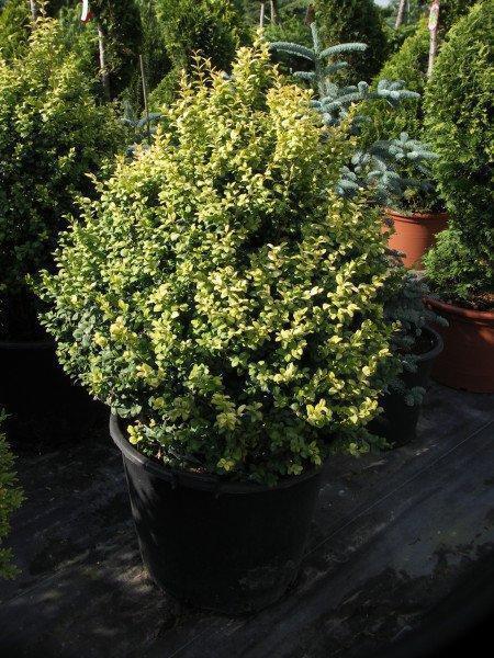 bukszpan wieczniezielony buxus sempervirens rotundifolia. Black Bedroom Furniture Sets. Home Design Ideas