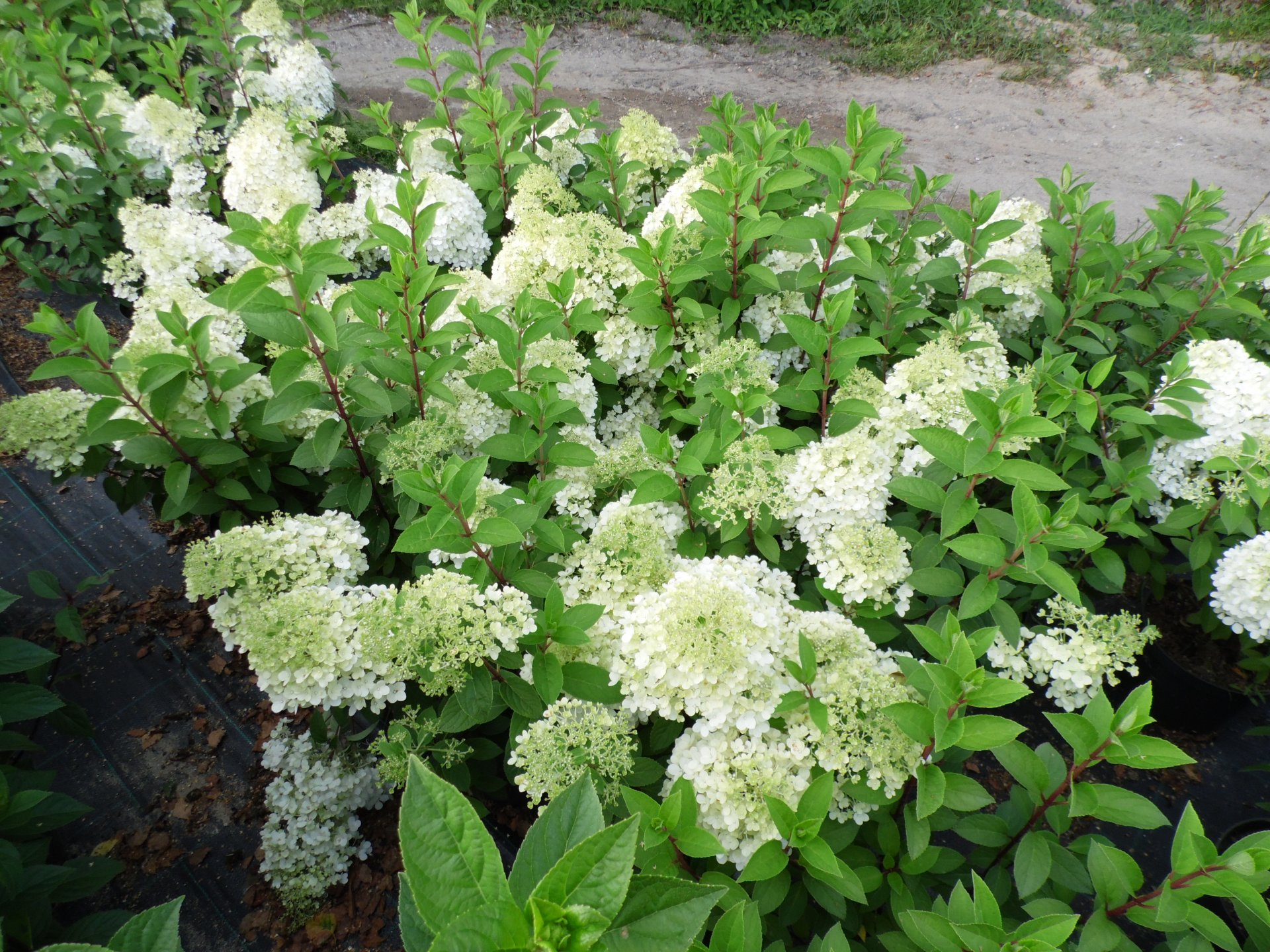 hortensja bukietowa hydrangea paniculata bobo dammera flowers. Black Bedroom Furniture Sets. Home Design Ideas